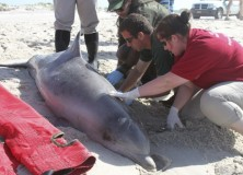 Cause of recent bottle nose dolphin deaths found